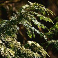 檜の葉と木漏れ日の写真