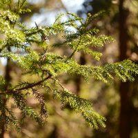 杉の葉と木漏れ日の写真